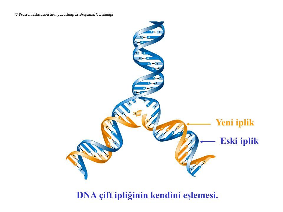 DNA çift ipliğinin kendini eşlemesi. Yeni iplik Eski iplik © Pearson Education Inc., publishing as Benjamin Cummings