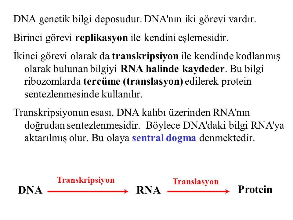 DNA genetik bilgi deposudur. DNA'nın iki görevi vardır. Birinci görevi replikasyon ile kendini eşlemesidir. İkinci görevi olarak da transkripsiyon ile