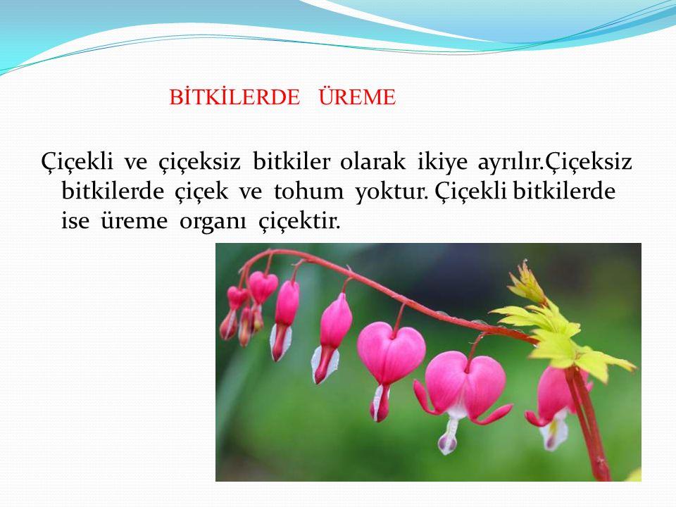 BİTKİLERDE ÜREME Çiçekli ve çiçeksiz bitkiler olarak ikiye ayrılır.Çiçeksiz bitkilerde çiçek ve tohum yoktur.