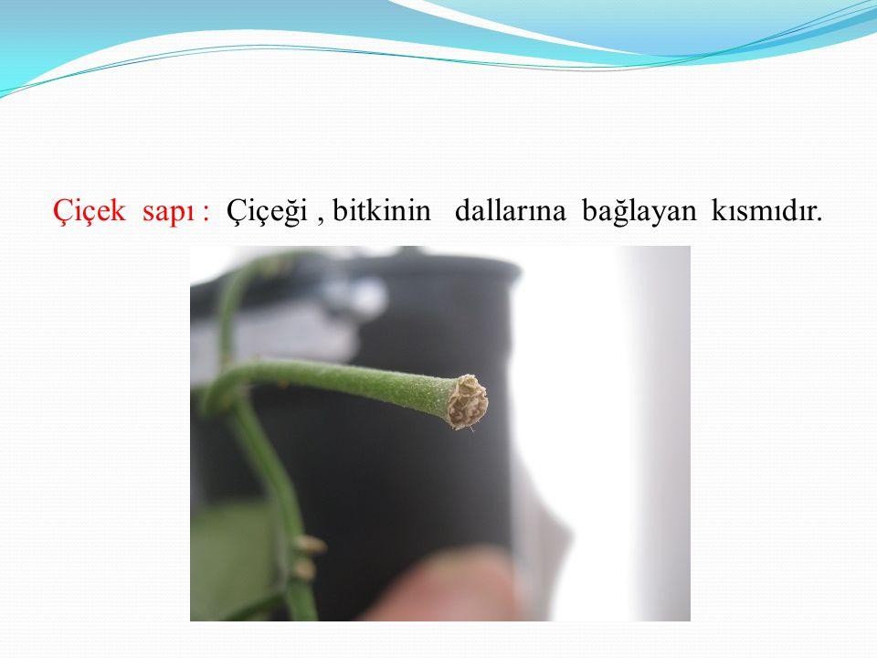 Çiçek tablası:Üzerinde çiçeğin çanak yaprak,taç yaprak,erkek dişi organlarının yer aldığı yapıdır.