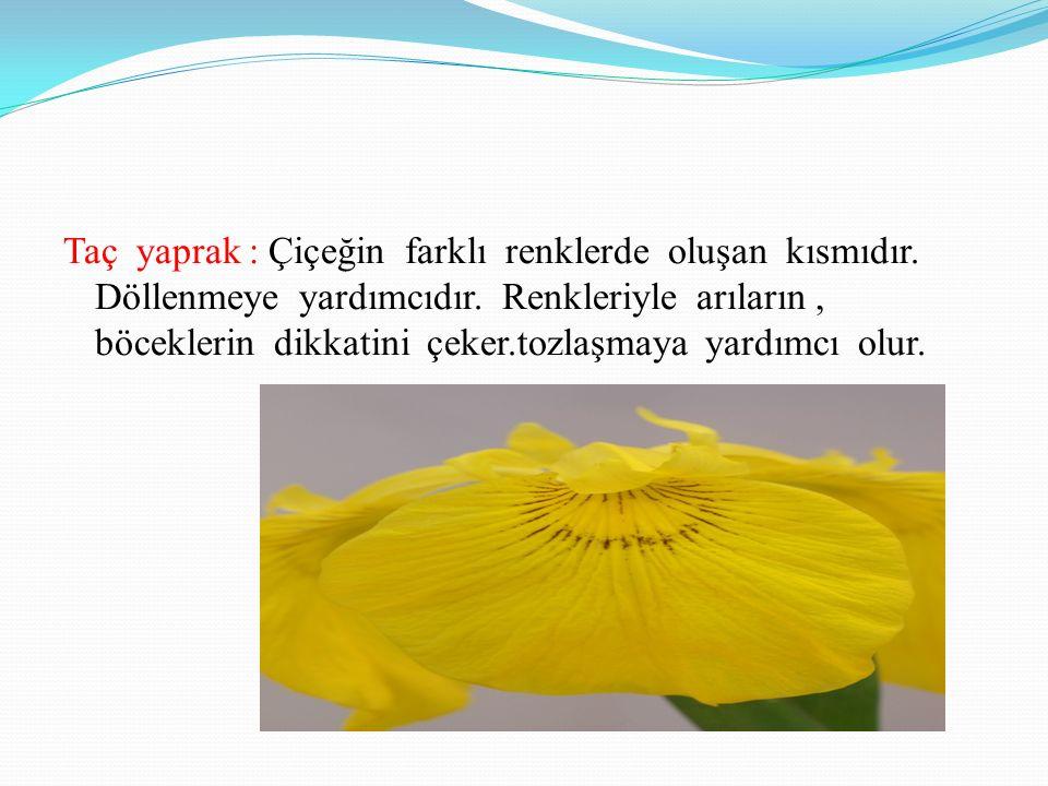 Taç yaprak : Çiçeğin farklı renklerde oluşan kısmıdır.