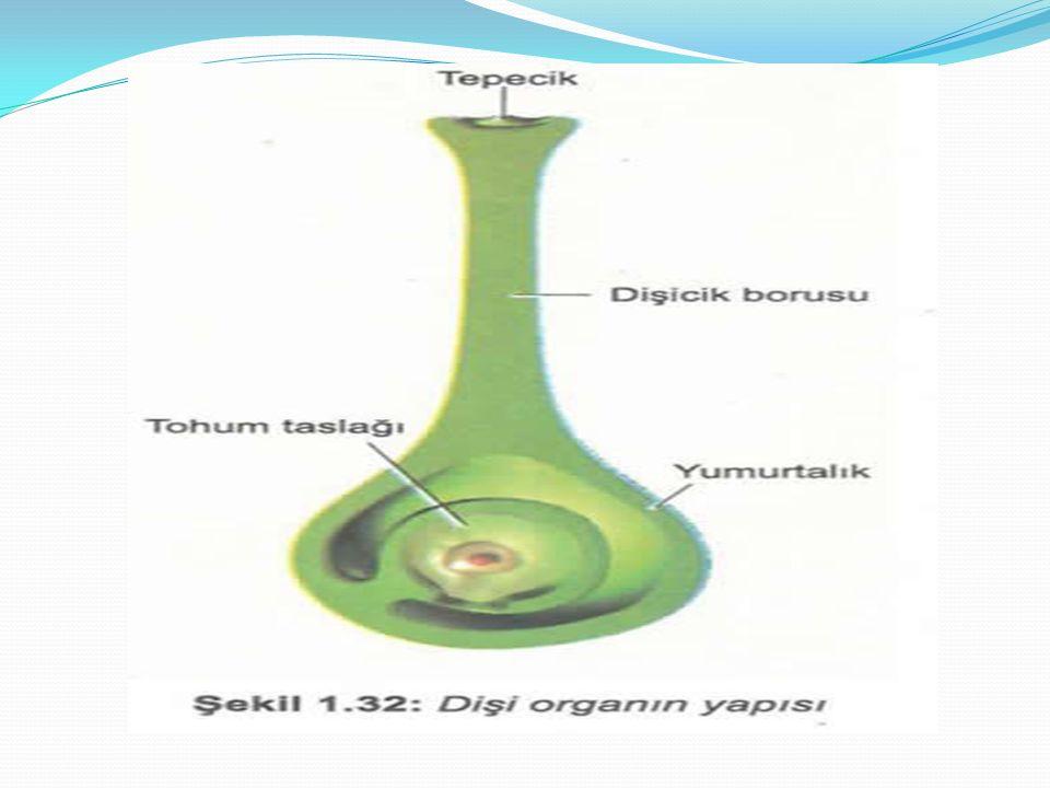 Dişi organ: Dişicik tepesi,dişicik borusu ve yumurtalık olmak üzere üç temel kısımdan oluşur.