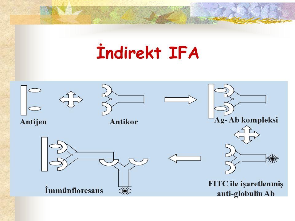 İndirekt IFA Antijen Antikor Ag- Ab kompleksi FITC ile işaretlenmiş anti-globulin Ab İmmünfloresans