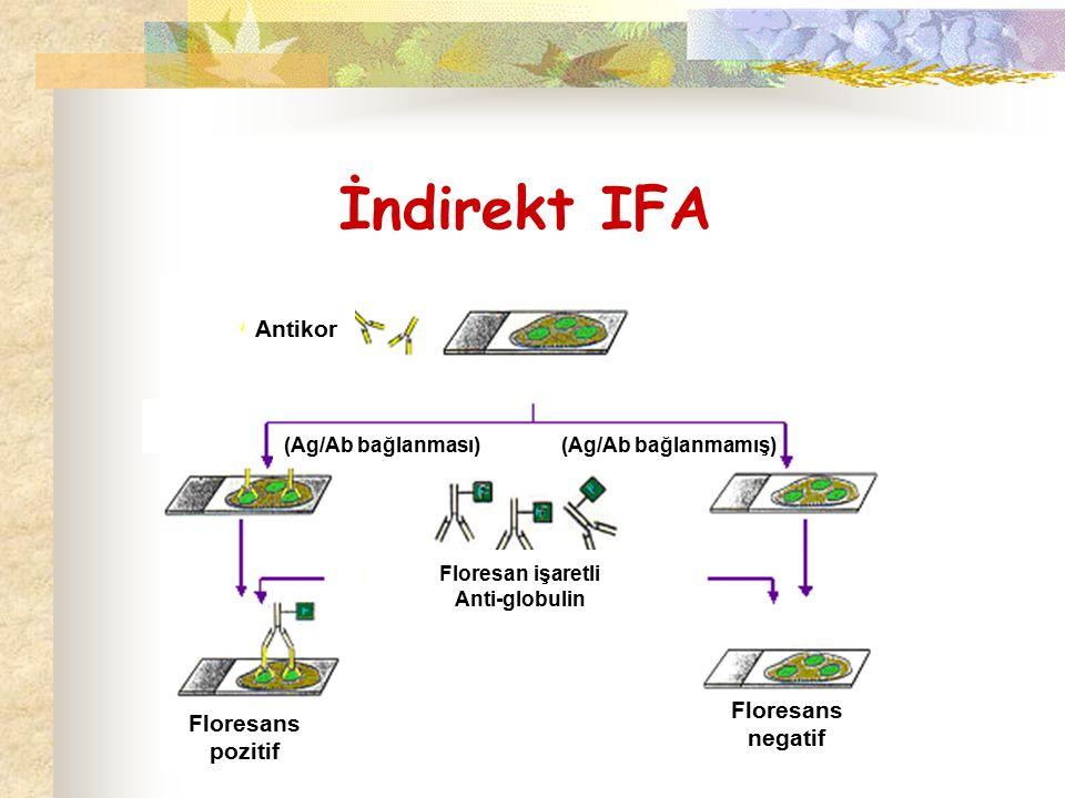 İndirekt IFA Antikor (Ag/Ab bağlanması)(Ag/Ab bağlanmamış) Floresan işaretli Anti-globulin Floresans pozitif Floresans negatif