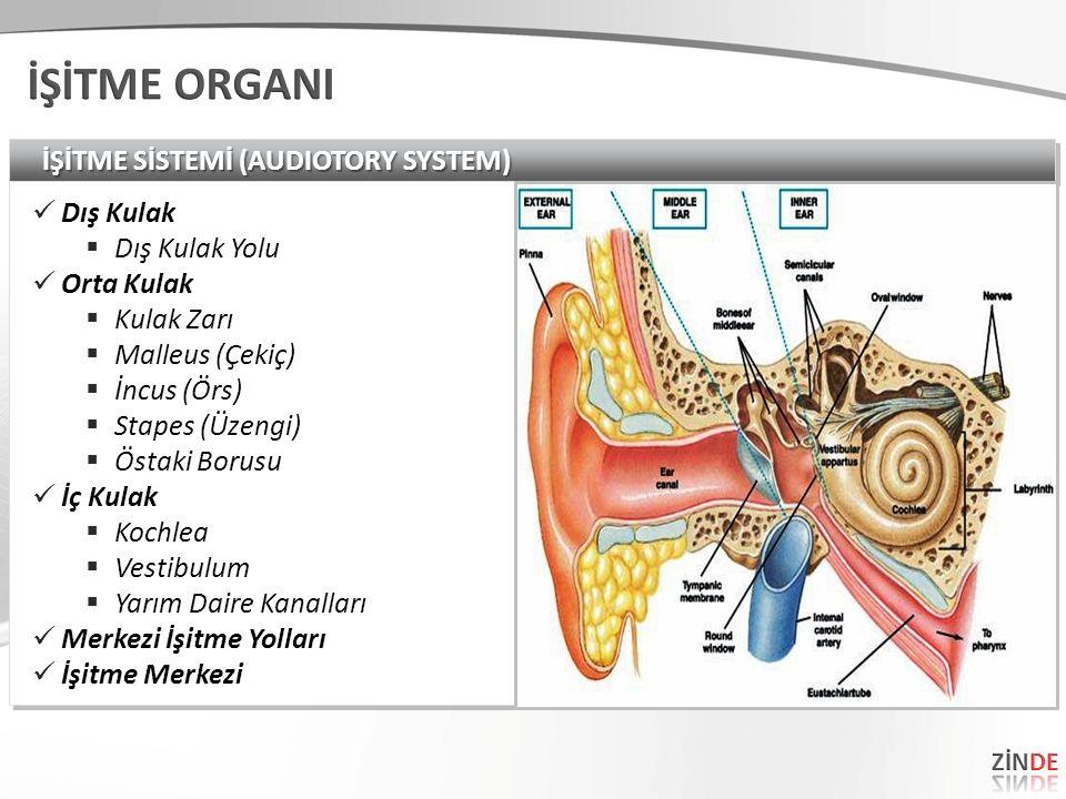 İŞİTME SİSTEMİ (AUDIOTORY SYSTEM) Dış Kulak  Dış Kulak Yolu Orta Kulak  Kulak Zarı  Malleus (Çekiç)  İncus (Örs)  Stapes (Üzengi)  Östaki Borusu İç Kulak  Kochlea  Vestibulum  Yarım Daire Kanalları Merkezi İşitme Yolları İşitme Merkezi Dış Kulak  Dış Kulak Yolu Orta Kulak  Kulak Zarı  Malleus (Çekiç)  İncus (Örs)  Stapes (Üzengi)  Östaki Borusu İç Kulak  Kochlea  Vestibulum  Yarım Daire Kanalları Merkezi İşitme Yolları İşitme Merkezi