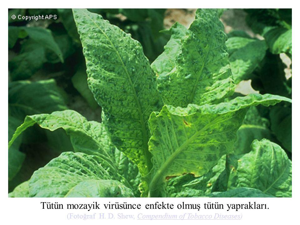 Tütün mozayik virüsünce enfekte olmuş tütün yaprakları. (Fotoğraf H. D. Shew, Compendium of Tobacco Diseases)Compendium of Tobacco Diseases