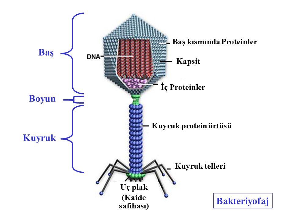 Bakteriyofaj Kuyruk protein örtüsü İç Proteinler Baş kısmında Proteinler Boyun Uç plak (Kaide safihası) Kuyruk telleri Kapsit Baş Boyun Kuyruk