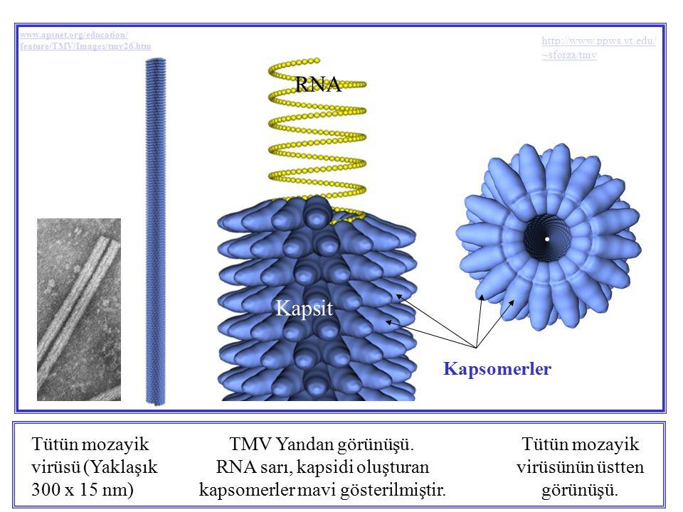 Tütün mozayik virüsü (Yaklaşık 300 x 15 nm) TMV Yandan görünüşü. RNA sarı, kapsidi oluşturan kapsomerler mavi gösterilmiştir. Tütün mozayik virüsünün