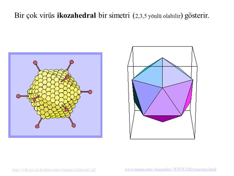 Bir çok virüs ikozahedral bir simetri ( 2,3,5 yönlü olabilir ) gösterir. http://web.uct.ac.za/depts/mmi/stannard/adenodr2.gif www.tulane.edu/~dmsander