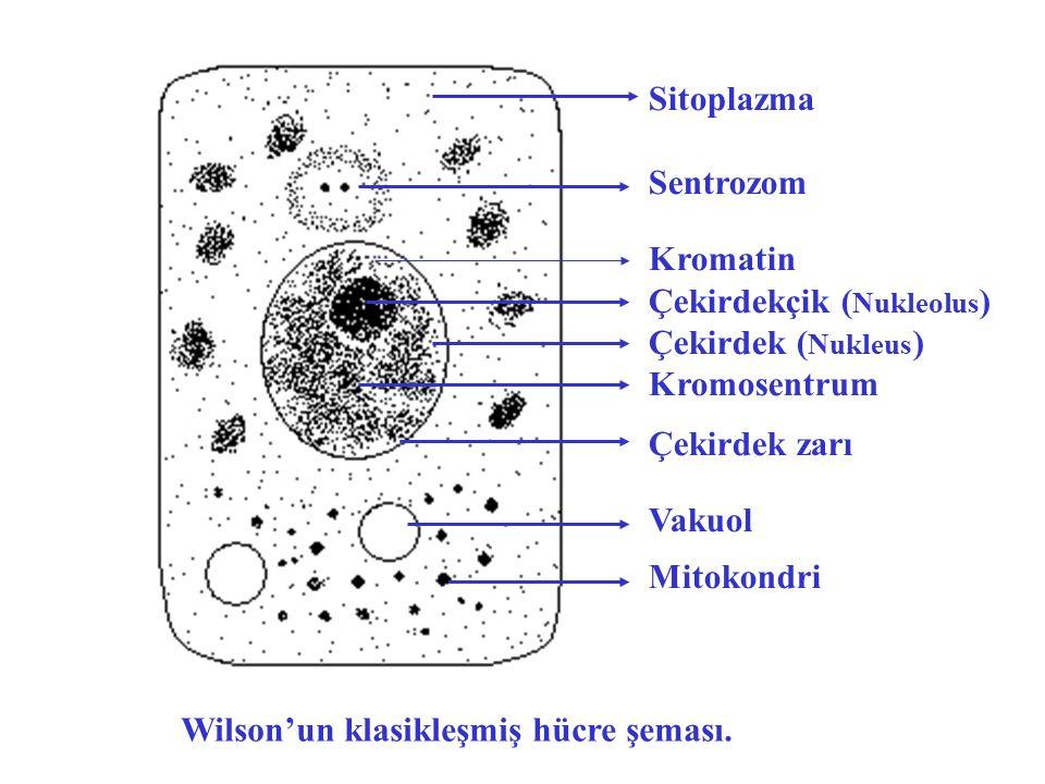 Sitoplazma Sentrozom Kromatin Çekirdekçik ( Nukleolus ) Çekirdek ( Nukleus ) Kromosentrum Çekirdek zarı Vakuol Mitokondri Wilson'un klasikleşmiş hücre şeması.