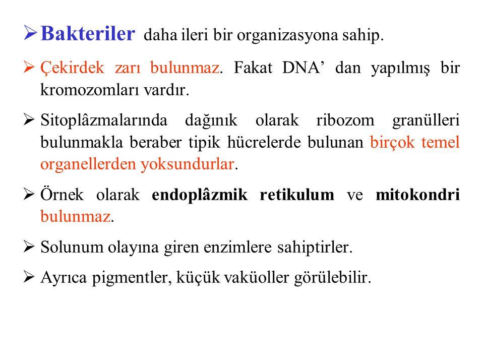  Bakteriler daha ileri bir organizasyona sahip.  Çekirdek zarı bulunmaz. Fakat DNA' dan yapılmış bir kromozomları vardır.  Sitoplâzmalarında dağını