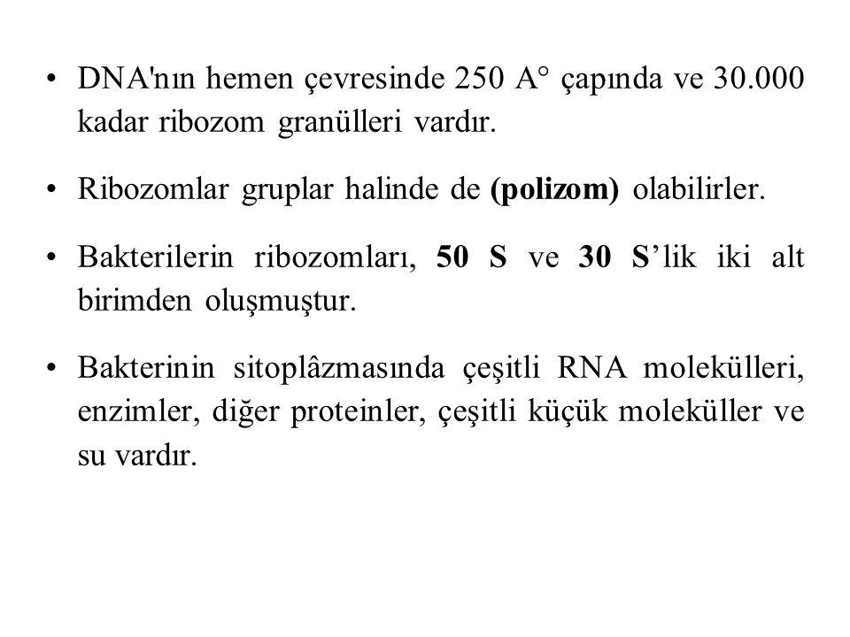 DNA nın hemen çevresinde 250 A° çapında ve 30.000 kadar ribozom granülleri vardır.