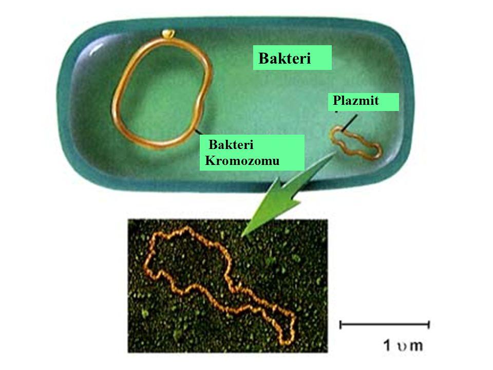 Bakteri Plazmit Bakteri Kromozomu