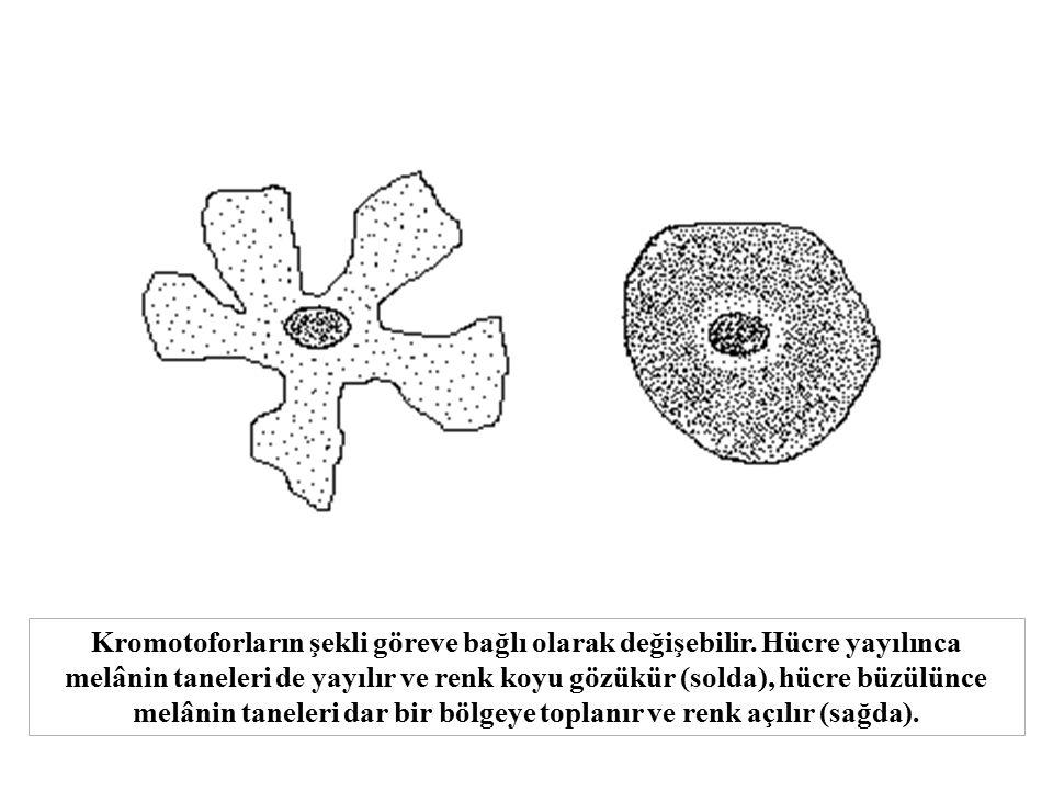 Kromotoforların şekli göreve bağlı olarak değişebilir. Hücre yayılınca melânin taneleri de yayılır ve renk koyu gözükür (solda), hücre büzülünce melân