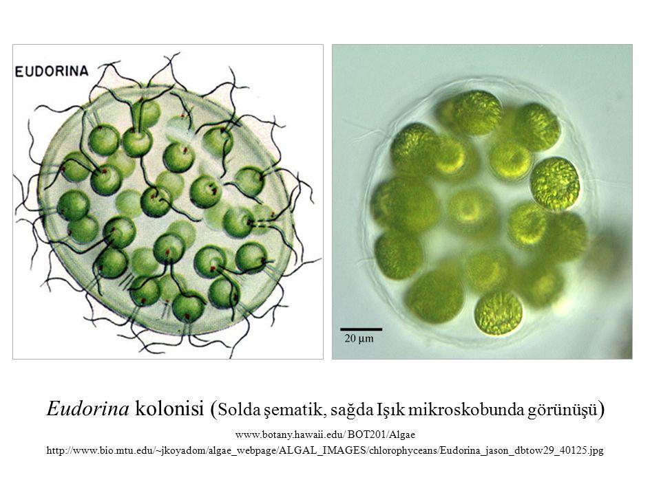 Eudorina kolonisi ( Solda şematik, sağda Işık mikroskobunda görünüşü ) www.botany.hawaii.edu/ BOT201/Algae http://www.bio.mtu.edu/~jkoyadom/algae_webpage/ALGAL_IMAGES/chlorophyceans/Eudorina_jason_dbtow29_40125.jpg