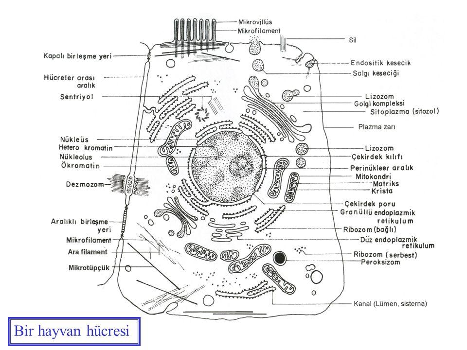 Bir hayvan hücresi