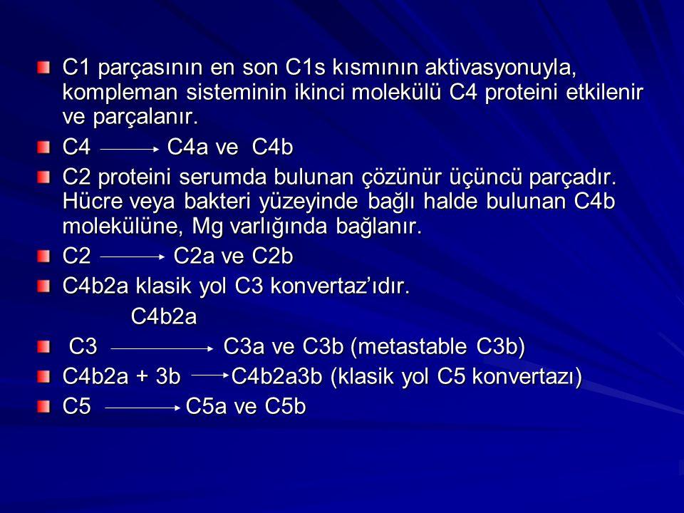 C1qrs IgG'nin Fc Bölgesine Bağlanır