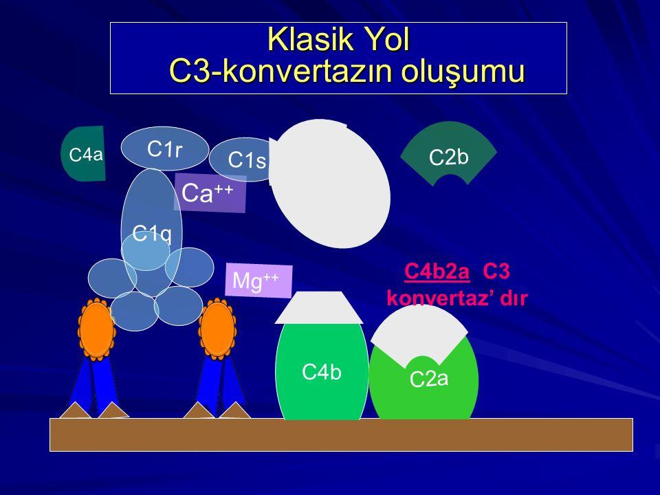 Ca ++ C1r C1s C1q C4 C4a b Klasik Yol C3-konvertazın oluşumu