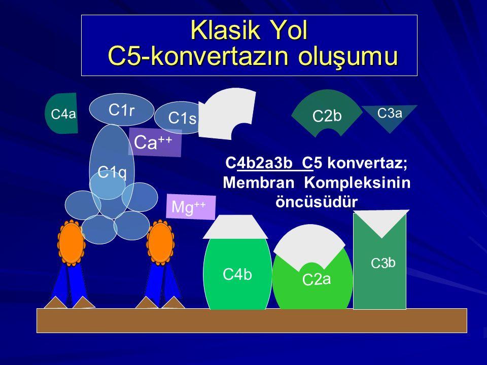 C4b Mg ++ C4a Ca ++ C1r C1s C1q C2 C2b a C2 a C4b2a C3 konvertaz' dır