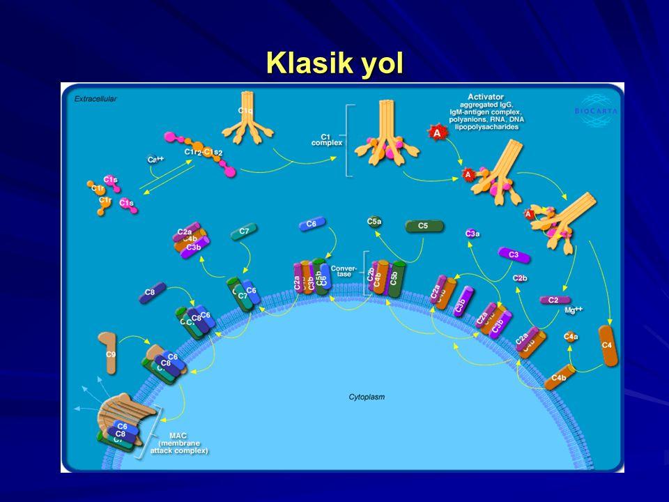Klasik Yol C5-konvertazın oluşumu C4b Mg ++ C4a Ca ++ C1r C1s C1q C2b C2 a C3 C3a b C4b2a3b C5 konvertaz; Membran Kompleksinin öncüsüdür