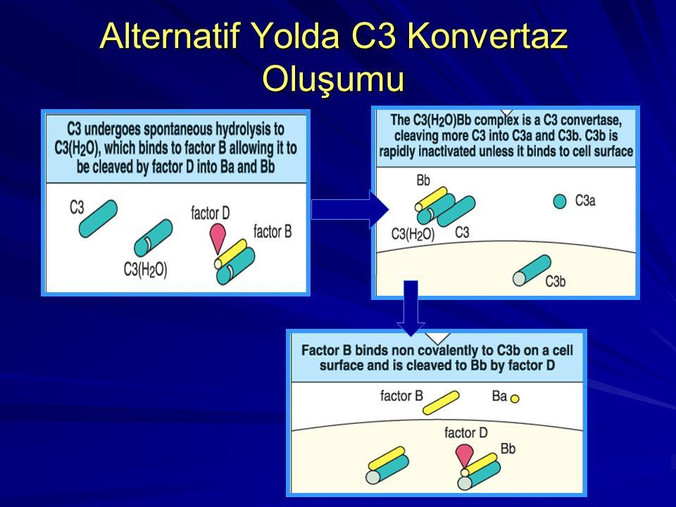 Alternatif Aktivasyon Yolu Faktör B C3b veya C3i ile birleşir (Faktör D proteazın etkisine duyarlı hale gelir). Faktör D Faktör D Faktör B Ba ve Bb se