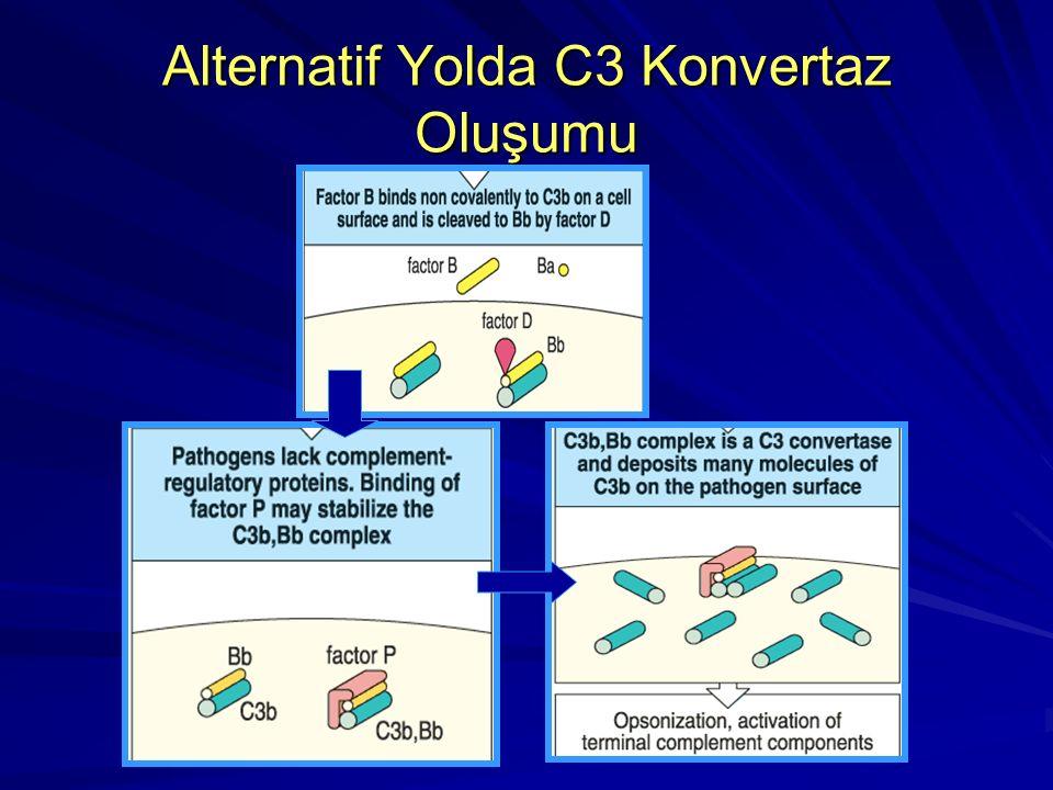 Alternatif Yolda C3 Konvertaz Oluşumu