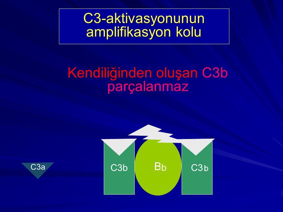 C3 - aktivasyonunun kendiliğinden oluşumu C3 H2OH2O i B D C3 konvertaz oluşumu C3iBb kompleksi çok kısa bir yaşam süresine sahiptir b C3 C3a b