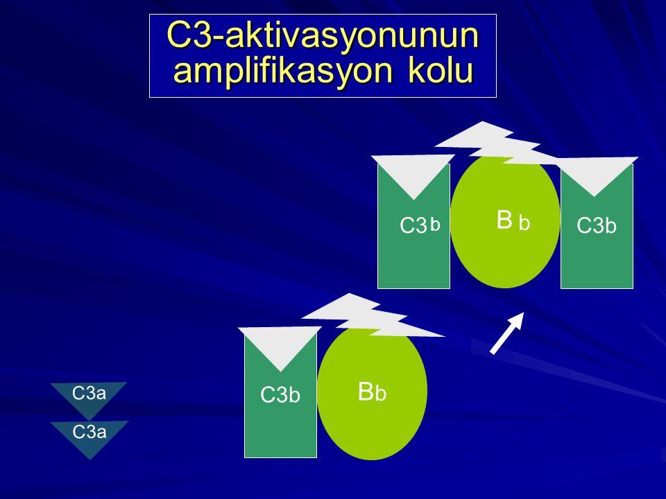 B D b C3b Kendiliğinden oluşan C3b parçalanmaz C3-aktivasyonunun amplifikasyon kolu C3 C3a b