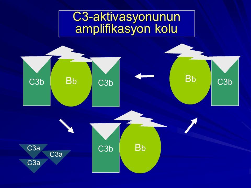 BbBb C3b C3 BbBb B D b b C3a C3-aktivasyonunun amplifikasyon kolu C3b