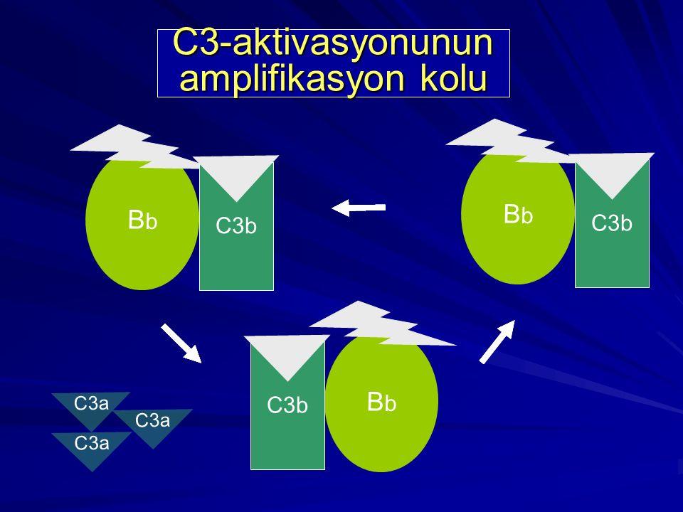 C3a BbBb C3b BbBb BbBb C3a C3-aktivasyonunun amplifikasyon kolu C3b