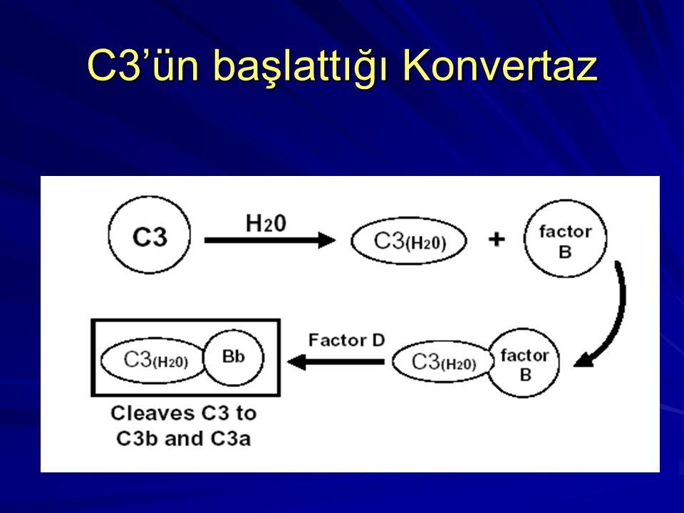 C3b stabilizasyonu ve C5 aktivasyonu C3b C3b bir aktivatör (koruyucu) membran bulur C3 C3a b B D b P Bu alternatif yolun stabil C5 konvertazıdır