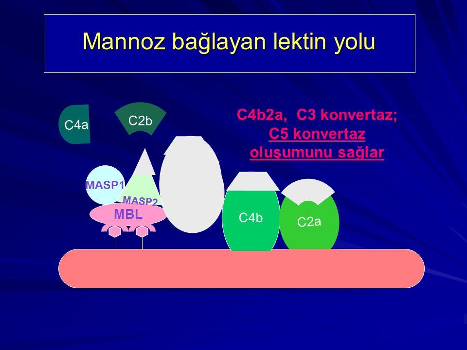 Mannoz bağlayan lektin yolunun komponentleri C4 MBL C2 MASP1 MASP2