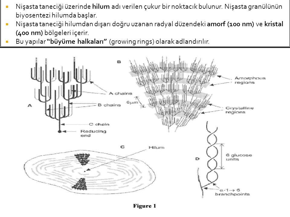  Nişasta taneciği üzerinde hilum adı verilen çukur bir noktacık bulunur. Nişasta granülünün biyosentezi hilumda başlar.  Nişasta taneciği hilumdan d