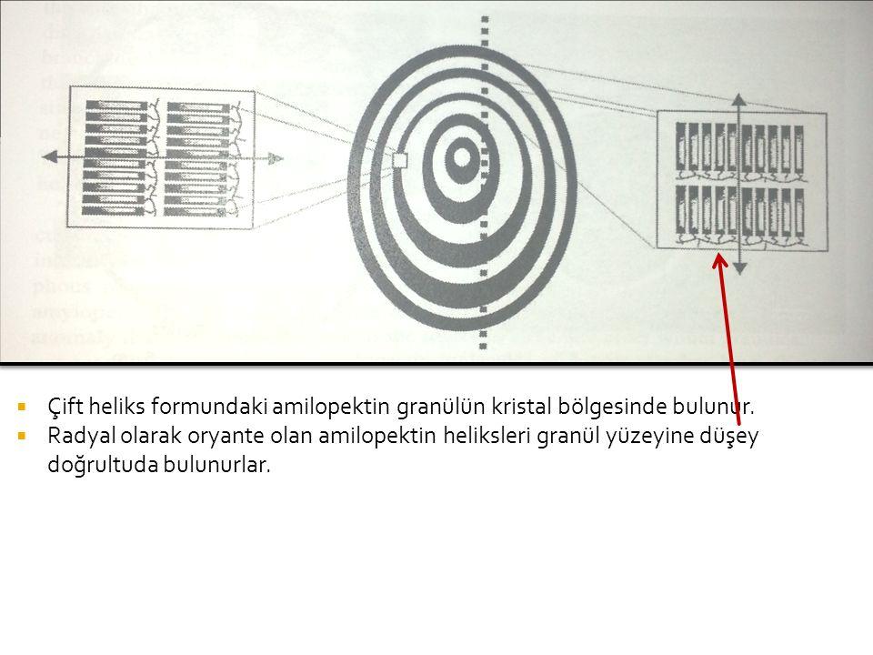  Çift heliks formundaki amilopektin granülün kristal bölgesinde bulunur.  Radyal olarak oryante olan amilopektin heliksleri granül yüzeyine düşey do