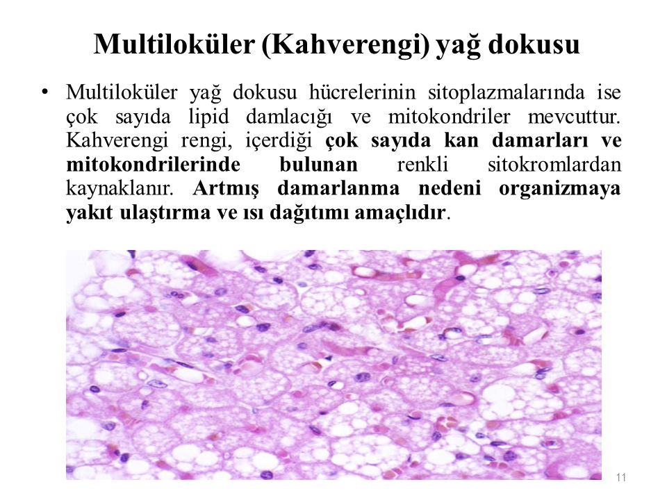 Multiloküler (Kahverengi) yağ dokusu Multiloküler yağ dokusu hücrelerinin sitoplazmalarında ise çok sayıda lipid damlacığı ve mitokondriler mevcuttur.