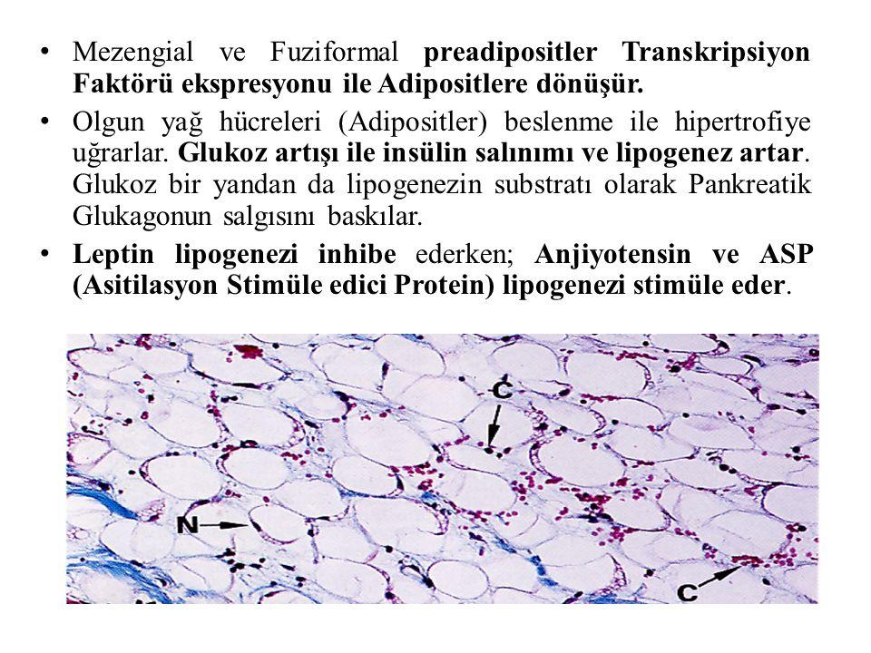 Mezengial ve Fuziformal preadipositler Transkripsiyon Faktörü ekspresyonu ile Adipositlere dönüşür.