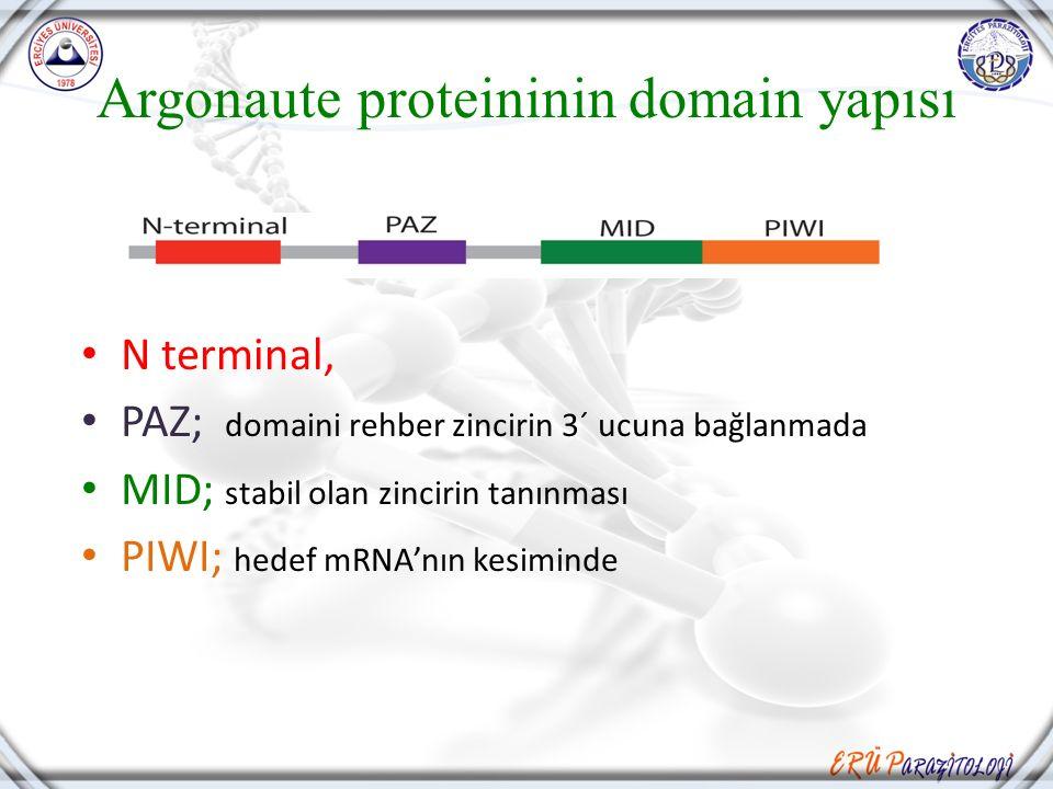 Argonaute proteininin domain yapısı N terminal, PAZ; domaini rehber zincirin 3´ ucuna bağlanmada MID; stabil olan zincirin tanınması PIWI; hedef mRNA'