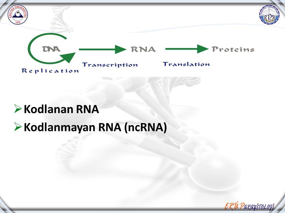  Kodlanan RNA  Kodlanmayan RNA (ncRNA)