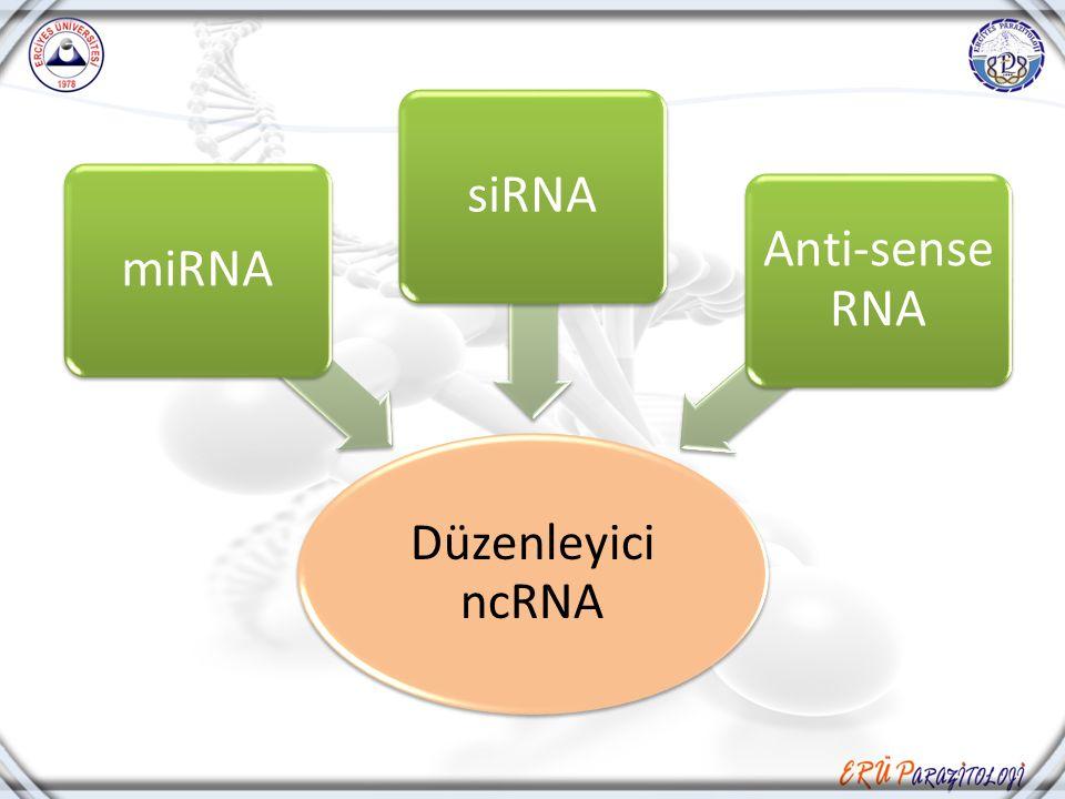 Düzenleyici ncRNA miRNAsiRNA Anti-sense RNA