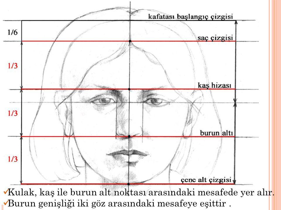 Kulak, kaş ile burun alt noktası arasındaki mesafede yer alır. Burun genişliği iki göz arasındaki mesafeye eşittir.