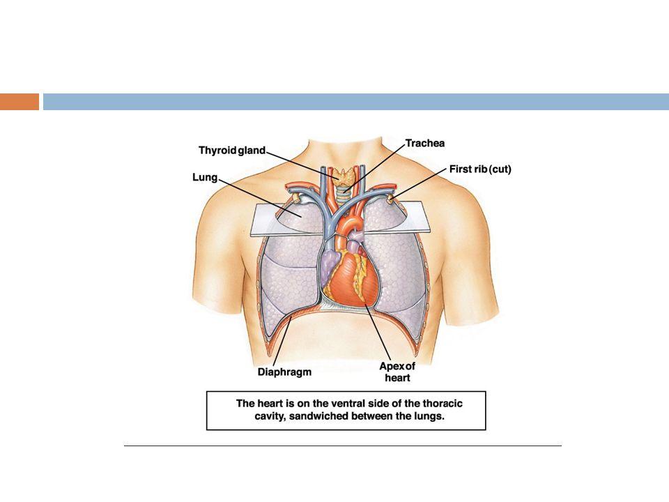 Kalp Kasının Kasılması  Kalp kasının kasılması SA dü ğ ümünden çıkan bir sinir uyarısının kalp kasında yayılması sonucu oluşan bir sistol(kasılma) ve bunu takip eden diastolü(gevşeme) kapsamaktadır.