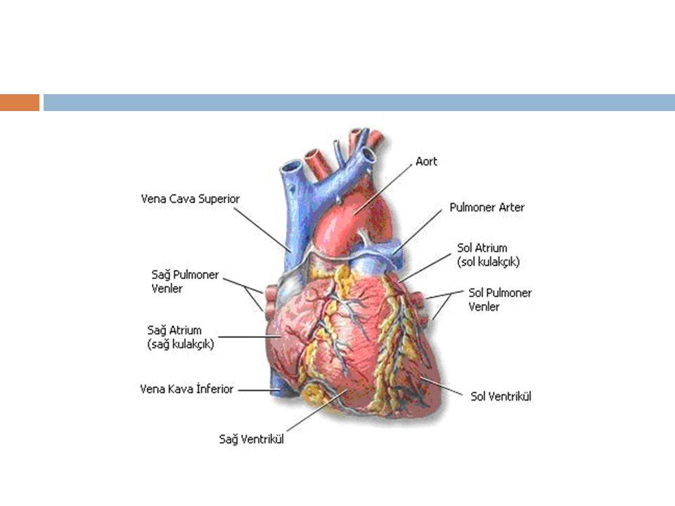  Kapiller en küçük sayısız kan damarlarıdır ve dokular arası O2-CO2 ve besin maddelerinin de ğ işimi gerçekleşir- kapiller yatak  Kan kapiller yataktan venül olarak adlandırılan küçük venöz damarlara geçer.