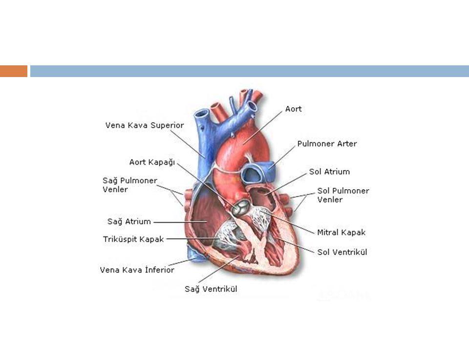 Sa ğ ventrikül kasıldı ğ ında tricüspid kapak kapanır ve kanın atriuma geri dönmesi engellnir.