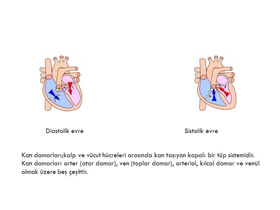 Diastolik evreSistolik evre Kan damarları;kalp ve vücut hücreleri arasında kan taşıyan kapalı bir tüp sistemidir.