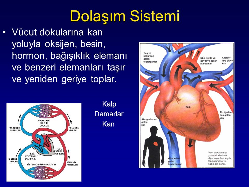 Vücut dokularına kan yoluyla oksijen, besin, hormon, bağışıklık elemanı ve benzeri elemanları taşır ve yeniden geriye toplar. Kalp Damarlar Kan