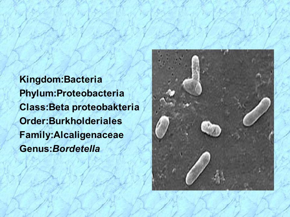 Kingdom:Bacteria Phylum:Proteobacteria Class:Beta proteobakteria Order:Burkholderiales Family:Alcaligenaceae Genus:Bordetella