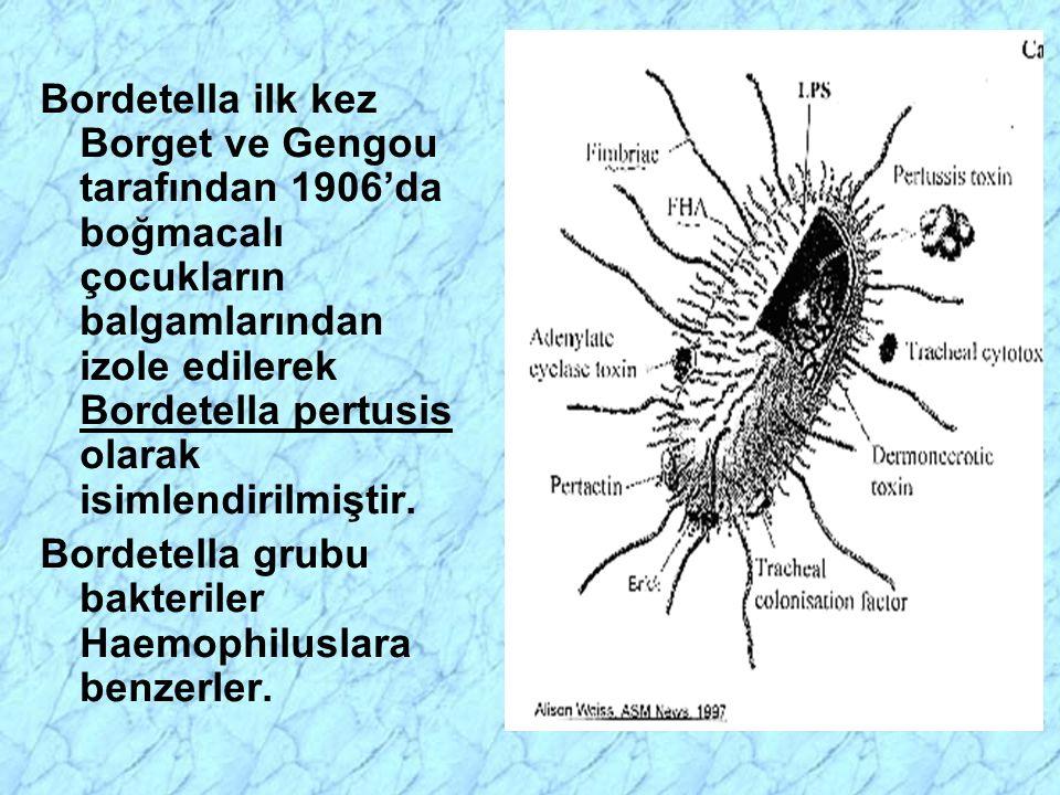 Trakeal epitel hücrelere yerleşmiş B. pertusis'ler