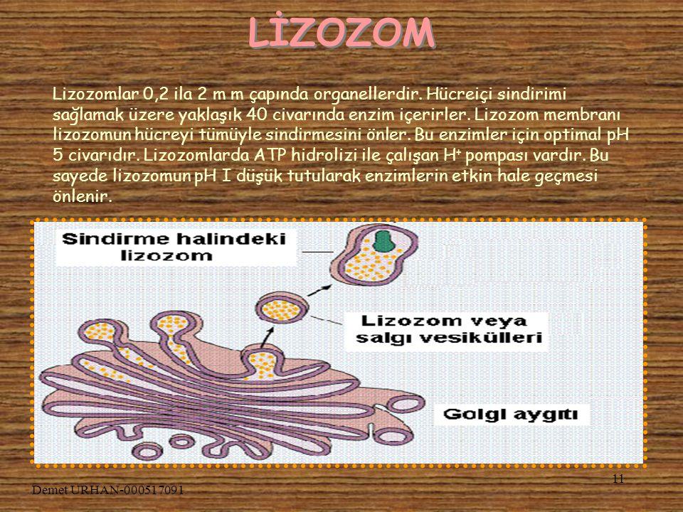 Demet URHAN-000517091 10 RİBOZOM Ribozomlar proteinlerin sentez edildikleri yerdir. Protein sentezi için gerekli bilgi DNA dadır, bu bilgi RNA ya tran