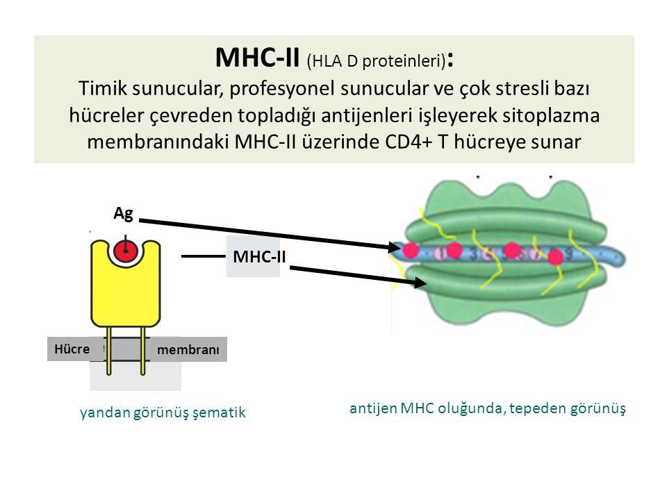 MHC-II antijen MHC oluğunda, tepeden görünüş yandan görünüş şematik membranı Hücre Ag Ag MHC-II (HLA D proteinleri) : Timik sunucular, profesyonel sunucular ve çok stresli bazı hücreler çevreden topladığı antijenleri işleyerek sitoplazma membranındaki MHC-II üzerinde CD4+ T hücreye sunar