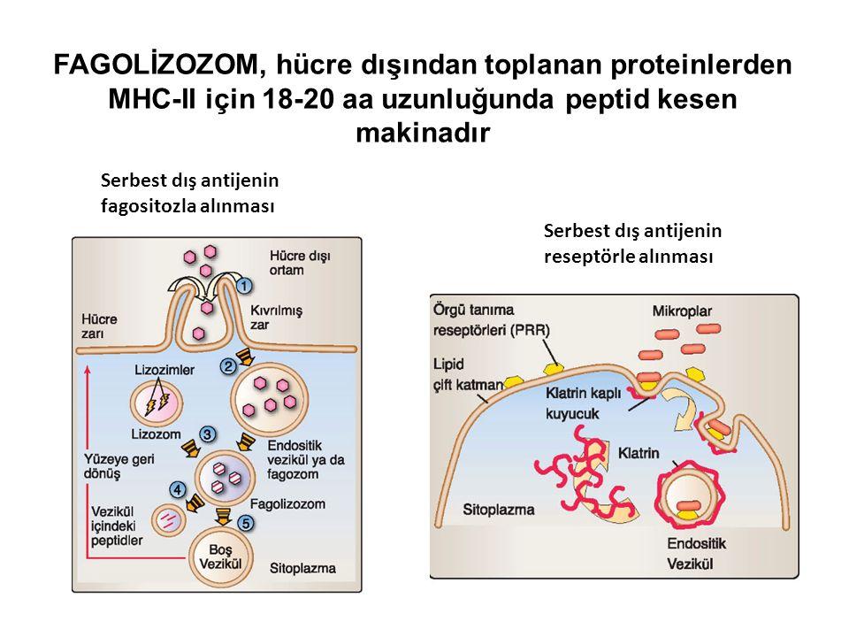 Serbest dış antijenin reseptörle alınması Serbest dış antijenin fagositozla alınması FAGOLİZOZOM, hücre dışından toplanan proteinlerden MHC-II için 18-20 aa uzunluğunda peptid kesen makinadır